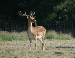 A stag standing alone with full antlers in the outdoor paddocks at Woodlands Zoo Farm
